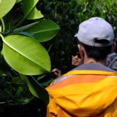 Qui and mangrove leaves