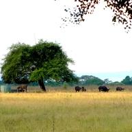 Buffallo? Sadly it is not Banteng