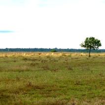 Javan Rusa (Cervus timorensis) in the distance
